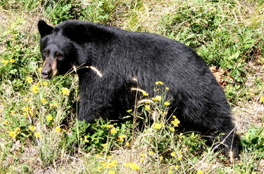 Black bear walking in a meadow
