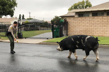 Watch Pig On The Run Follow Police Home (Photo credit: San Bernardino County Sheriff's Department)