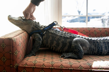 In this Jan. 14, 2019, photo Wally, a 4-year-old emotional support alligator, soaks up the sun while his owner, Joie Henney, rubs his head at the SpiriTrust Lutheran Village in York, Pa. Henney says he received approval from his doctor to use Wally as his