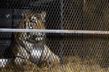 In this Tuesday, Feb. 12, 2019 photo, a tiger that was found in a Southeast Houston residence awaits transport to a rescue facility at the BARC Animal Shelter and Adoptions building in Houston. A woman who called Houston's non-emergency dispatch line afte