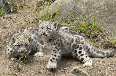 Snow Leopard Cubs (Photo credit: San Francisco Zoo)