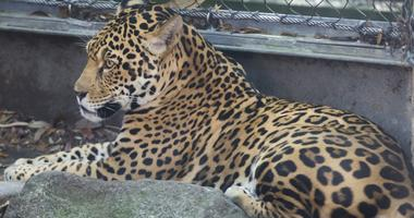Audubon jaguar enclosure 'compromised', possibly enabling animal's escape