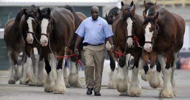 Budweiser Clydesdales get their daily walk