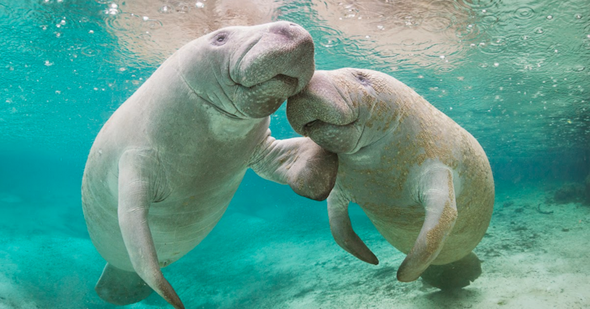 Seacow Social Media Website for social Manatees, Sea cows, Dugongs, and other Sirenians
