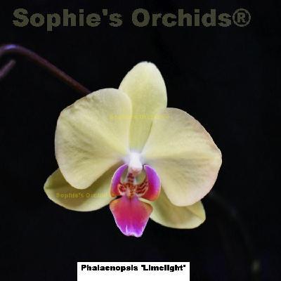 Phalaenopsis Bellina Alba x Sib