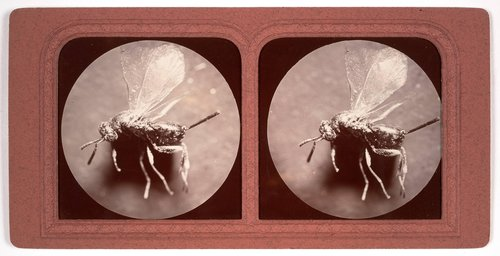 Gall fly, magnified twelve times