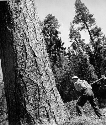 image of 'Untitled (Ponderosa Pine), from the Red River series'