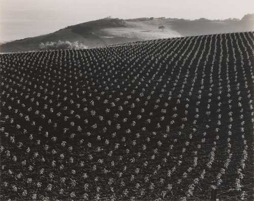 Tomato Field, Monterey Coast