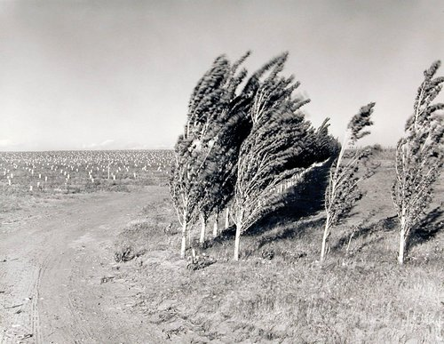 Third leaf poplars in a windstorm, May 26, 1984, from the series Pioneering Mattawa
