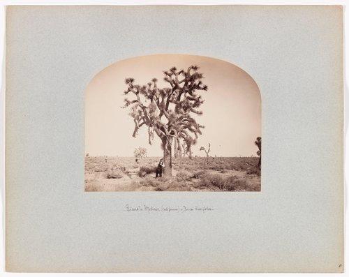 Yucca Brevifolia, Mojave Desert, California