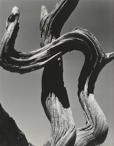 Tree, Lobos