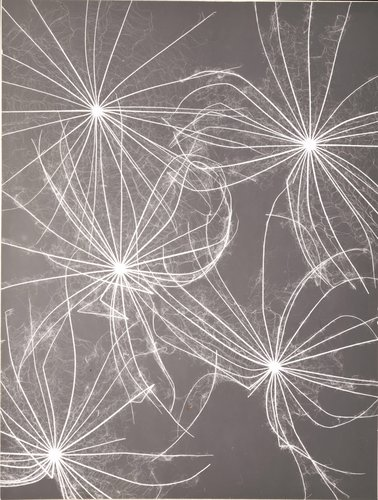 Untitled (Negative print, close-up of star-like flowers or seed pods)