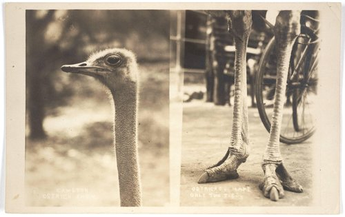 Cawston Ostrich Farm/Ostriches Have Only Two Toes
