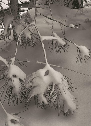 Pine Branch in Snow, Yosemite National Park, California