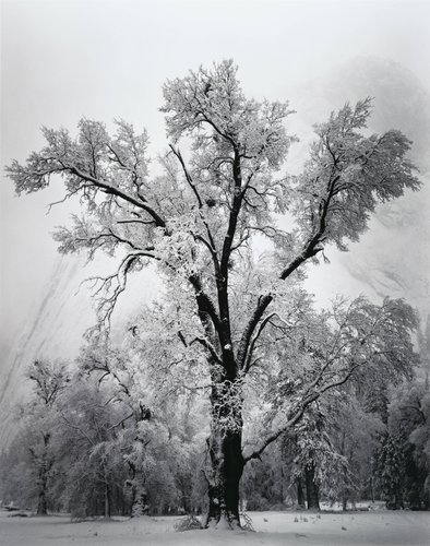 Oak Tree, Snow Storm, Yosemite, from Portfolio One: Twelve Photographic Prints