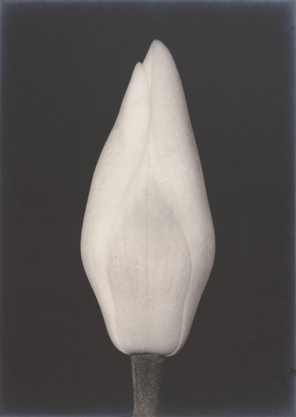 image of Untitled (Magnolia Bud)