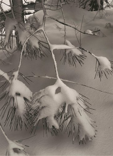 Pine Branch in Snow, Yosemite National Park, California