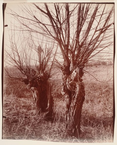 Saules (Willows)