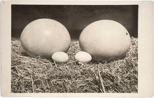 Ostrich Eggs Compared with Hen Eggs