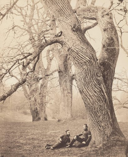 Spanish Chestnut Trees in Albury Park, Surrey