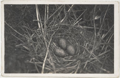 Untitled [Three eggs in a nest]