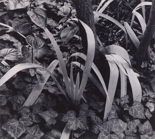 Iris and Stump, Orgeval, France, from Paul Strand: Portfolio Four