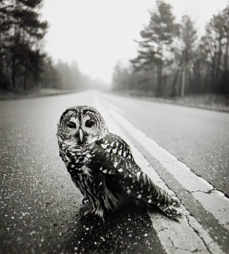 Owl on Road, Big Thicket, Texas