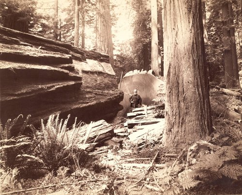 A redwood tree 68 feet in circumference on Eel River, near Scotia, Humboldt County, Cal., from which a section was sent to the World's Fair at Chicago in 1893