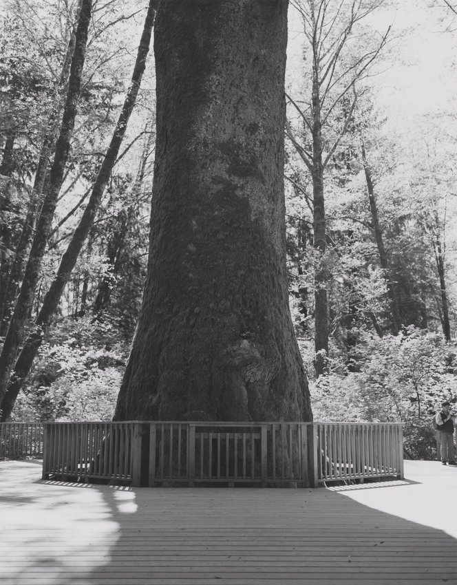 image of 'Sitka Spruce, Klootchy Creek Park, Clatsop County, Oregon'