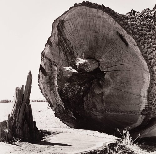 Felled Oak Tree and Stump, from the series Death of a Valley