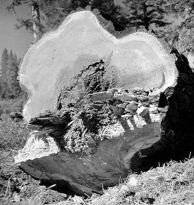image of 'Untitled (End of Ponderosa Pine), from the Red River series'