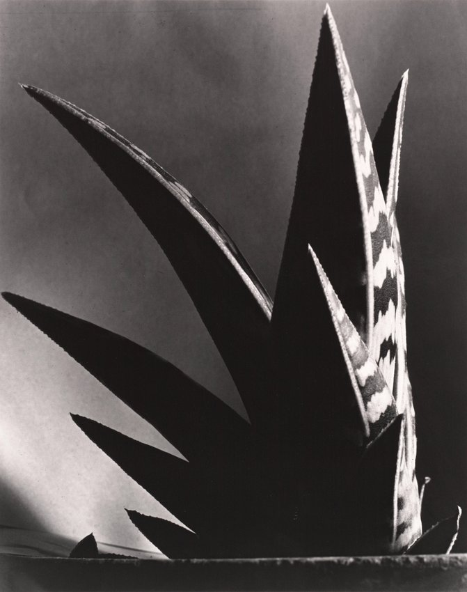image of 'Aloe'