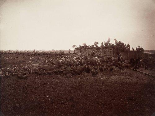 Vultures and Adjutants at Salt Lakes
