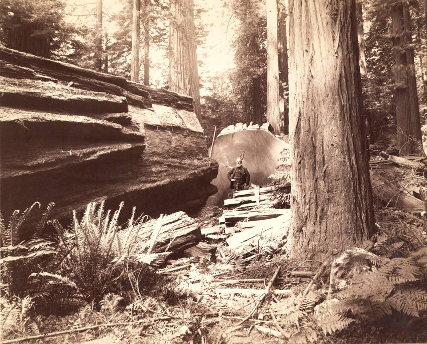 image of 'A redwood tree 68 feet in circumference on Eel River, near Scotia, Humboldt County, Cal., from which a section was sent to the World's Fair at Chicago in 1893'