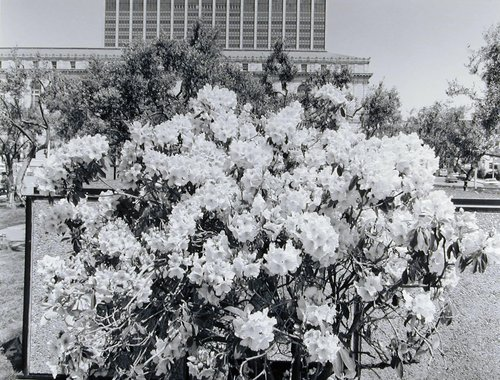 Rhododendron Bush, from the series Settings - The Civic Center Project