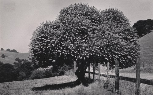 Untitled [Buckeye tree, Marin County]