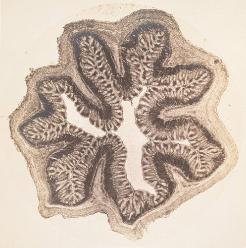 Frog intestine (cross section), enlarged fifty times