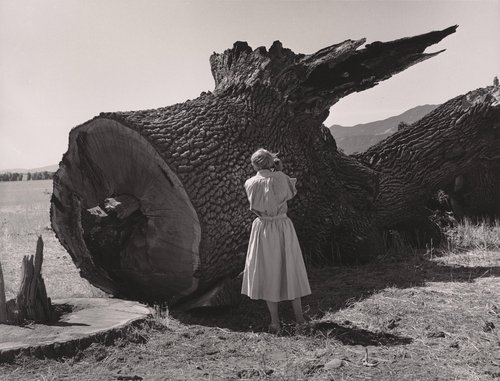 Untitled [Dorothea Lange photographing the destruction of a California landmark. All trees are cut to within six inches above the ground], from the series Berryessa Valley The Last Year
