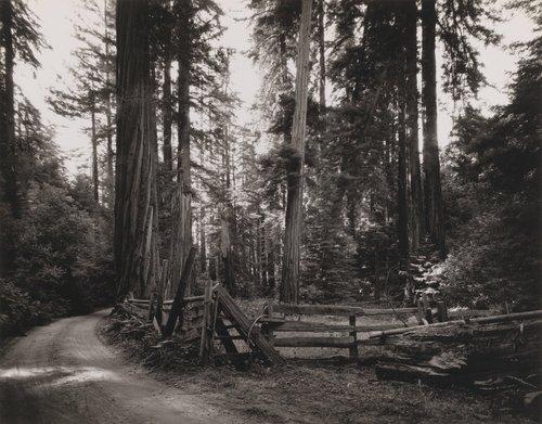 Redwoods #4, Palo Colorado