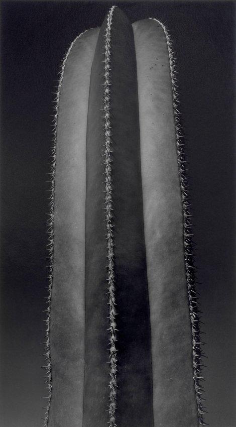 image of Untitled (Cactus)