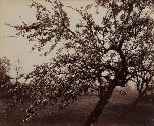 Poirier en fleurs (Pear Tree in Bloom)