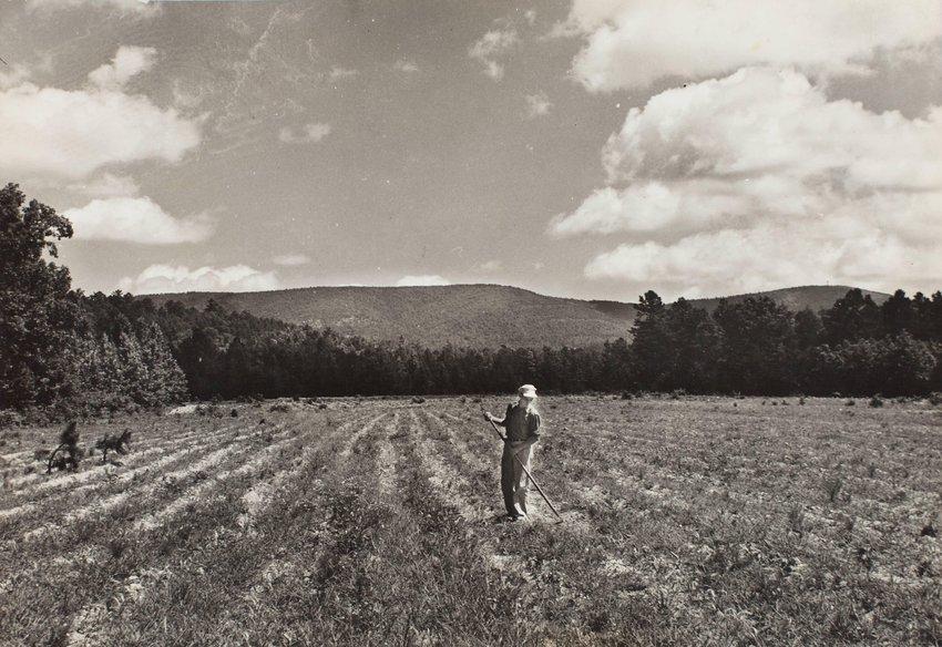image of 'Bill Thompson working his peanut field, Arkansas'