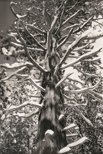 Cedar Tree, Winter, Yosemite Valley