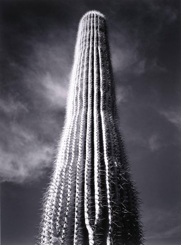 Saguaro Cactus, Sunrise, Arizona, from Portfolio One: Twelve Photographic Prints