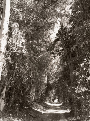 Eucalyptus alley through citrus groves, Grand Terrace, California