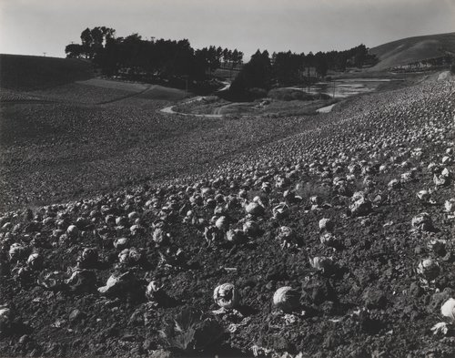 Cabbage Field, Skyline Boulevard, San Francisco, California