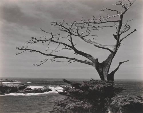 Cypress, Point Lobos