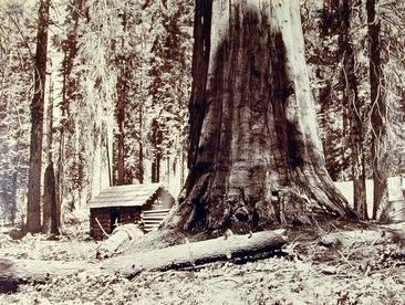 image of 'In the Mariposa Grove'