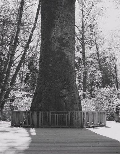 Sitka Spruce, Klootchy Creek Park, Clatsop County, Oregon