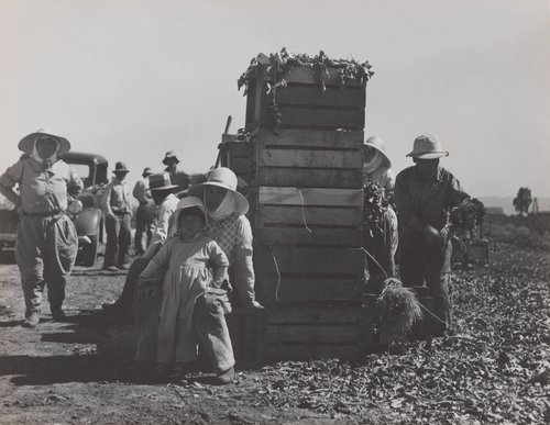 Japanese Agricultural Workers Packing Broccoli Near Guadalupe, CA